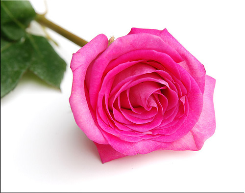 single pink flower rose - photo #25